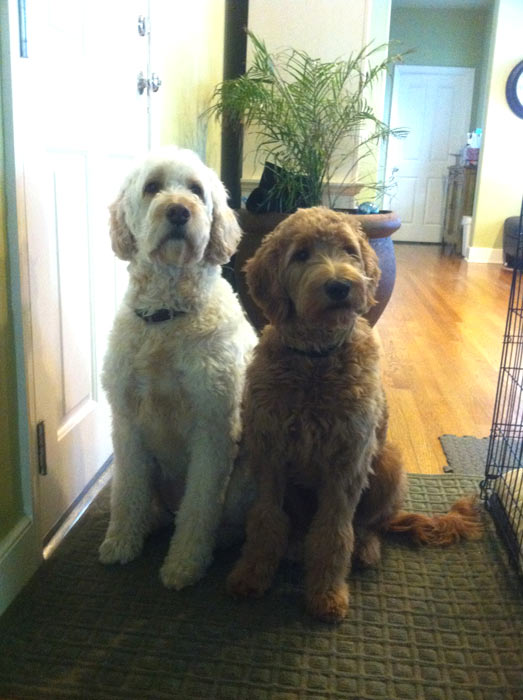 "<div class=""meta ""><span class=""caption-text "">ABC7 viewer Elizabeth Min from Agoura Hills sent in this photo of Cooper and Boston. Cooper is a male, 8-month-old apricot Golden Doodle and Boston is a female, 5-year-old cream Golden Doodle. Min says contrary to her name, Boston loves the Lakers! Celebrate National Puppy Day by sending photos of your pup to ABC7. (KABC Photo/Elizabeth Min)</span></div>"