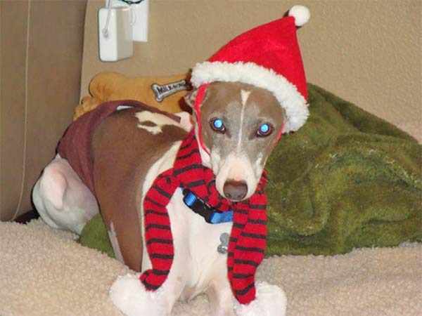 ABC7 viewer Terri Severs-Van Scyoc shared this snapshot of her Italian greyhound, Dom. Use #ABC7HomeForTheHolidays on Facebook, Twitter and Instagram to share your holiday photos with ABC7. We&#39;ll feature some of the best on our newscasts and here on abc7.com! <span class=meta>(ABC7 viewer Terri Severs-Van Scyoc)</span>