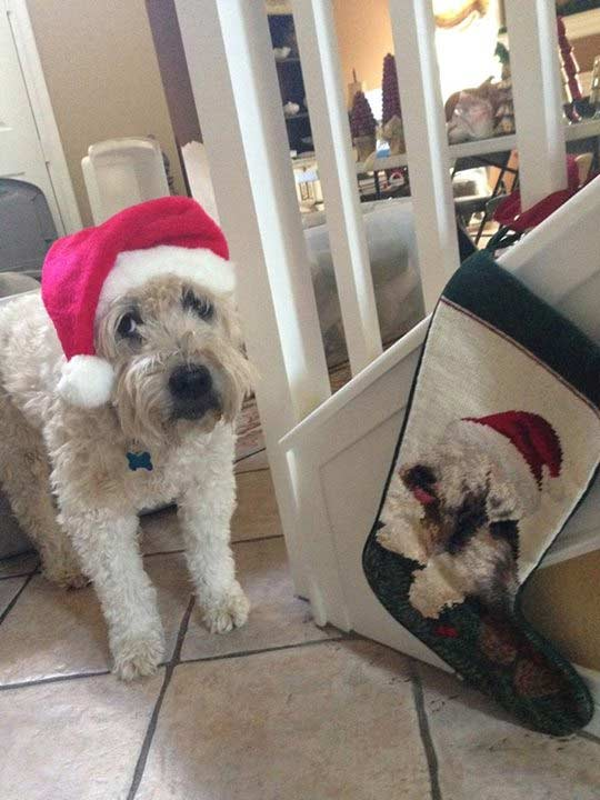 ABC7 viewer Tiffany Ziak shared this snapshot of her dog, Sophie. Use #ABC7HomeForTheHolidays on Facebook, Twitter and Instagram to share your holiday photos with ABC7. We&#39;ll feature some of the best on our newscasts and here on abc7.com! <span class=meta>(ABC7 viewer Tiffany Ziak)</span>
