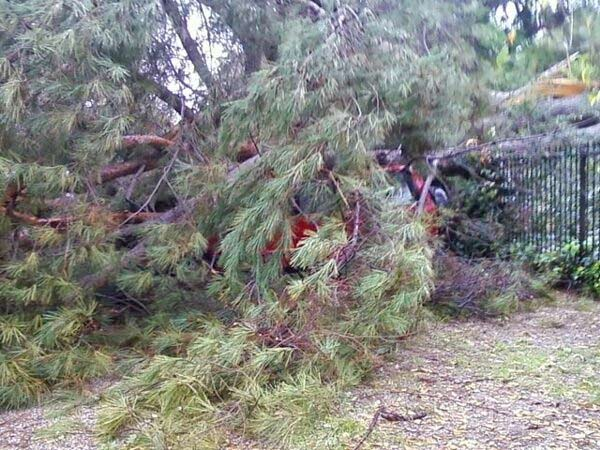 An ABC7 viewer sent in this photo of a fallen tree on a car on Monday, Dec. 20, 2010.   When You Witness breaking news, or even something extraordinary, send pictures and video to video@myabc7.com, or send them to @abc7 on Twitter <span class=meta>(ABC7 viewer)</span>