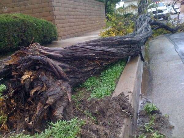 ABC7 viewer Fred sent in this photo of a tree down in Stanton on Tuesday, Dec. 21, 2010.   When You Witness breaking news, or even something extraordinary, send pictures and video to video@myabc7.com, or send them to @abc7 on Twitter <span class=meta>(ABC7 viewer Fred)</span>