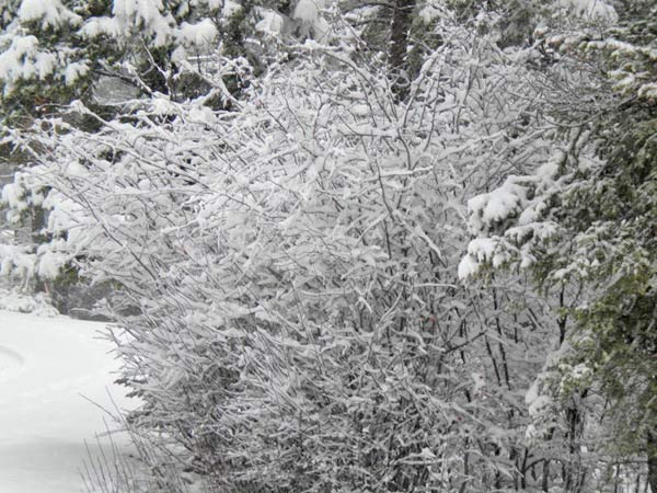 ABC7 viewer Amy Weidenkopf sent in this photo of snow in Big Bear Lake on Wednesday, Dec. 22, 2010.  &#39;The combination of rain and snow has made the snow stick to the branches... it almost looks fake!&#39;   When You Witness breaking news, or even something extraordinary, send pictures and video to video@myabc7.com, or send them to @abc7 on Twitter <span class=meta>(ABC7 viewer Amy Weidenkopf)</span>