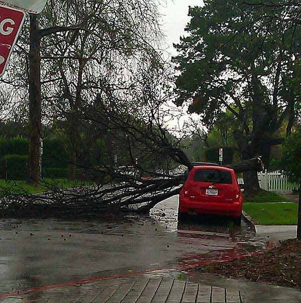 ABC7 viewer Erika Rivas of Valley Village, Calif., sent in this photo of a fallen tree on Sunday March 20, 2011.  When You Witness breaking news, or even something extraordinary, send pictures and video to video@myabc7.com, or send them to @abc7 on Twitter <span class=meta>(KABC photo &#47; Erika Rivas)</span>