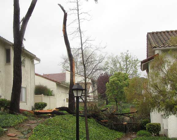 ABC7 viewer Lauren Todd of Thousand Oaks, Calif., sent in this photo of a fallen tree on Sunday March 20, 2011.  When You Witness breaking news, or even something extraordinary, send pictures and video to video@myabc7.com, or send them to @abc7 on Twitter <span class=meta>(KABC photo&#47; Lauren Todd)</span>