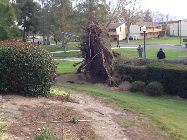 An ABC7 viewer sent in this photo of an uprooted tree on the campus of California State University, San Bernardino on Thursday, Dec. 1, 2011.  When You Witness breaking news, or even something extraordinary, send pictures and video to video@myabc7.com, or send them to @abc7 on Twitter <span class=meta>(KABC Photo&#47; ABC7 viewer)</span>