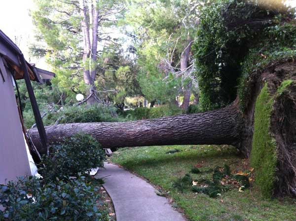 ABC7 viewer Crystal Blount sent in this photo of a fallen tree in Burbank, Calif. on Thursday, Dec. 1, 2011. &#160;When you witness breaking news happen, send your photos to video@myabc7.com, or send them to @abc7 on Twitter  <span class=meta>(KABC Photo&#47; ABC7 viewer Crystal Blount)</span>