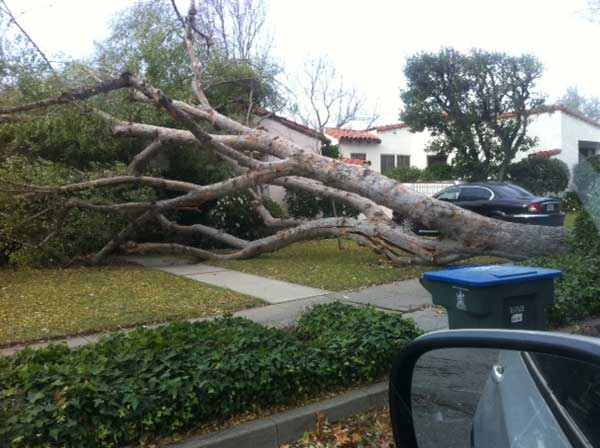 ABC7 viewer Manny sent in this photo of a fallen tree in Southern California on Thursday, Dec. 1, 2011. &#160;When you witness breaking news happen, send your photos to video@myabc7.com, or send them to @abc7 on Twitter  <span class=meta>(KABC Photo&#47; ABC7 viewer Manny)</span>