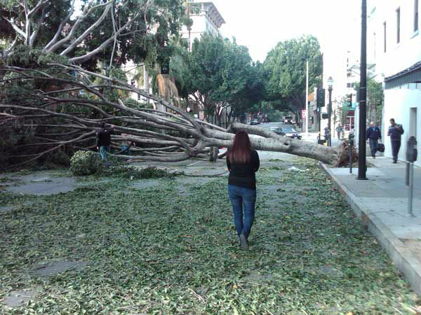 An ABC7 viewer sent in this photo of a tree blocking Green Street in Pasadena, Calif. on Thursday, Dec. 1, 2011. &#160;When you witness breaking news happen, send your photos to video@myabc7.com, or send them to @abc7 on Twitter  <span class=meta>(KABC Photo)</span>