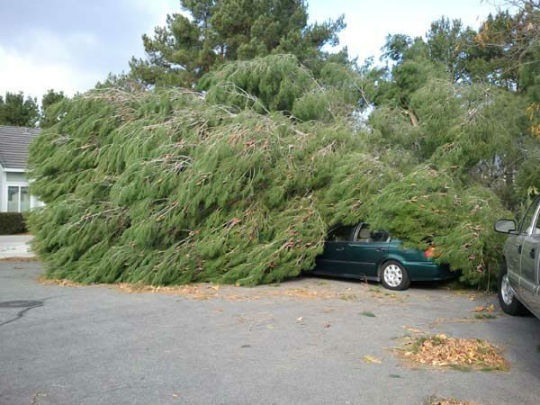 ABC7 viewer Sandy Monacelli sent in this photo of a tree that fell on a car in Rancho Cucamonga, Calif. on Thursday, Dec. 1, 2011. &#160;When you witness breaking news happen, send your photos to video@myabc7.com, or send them to @abc7 on Twitter <span class=meta>(KABC Photo&#47; Sandy Monacelli)</span>