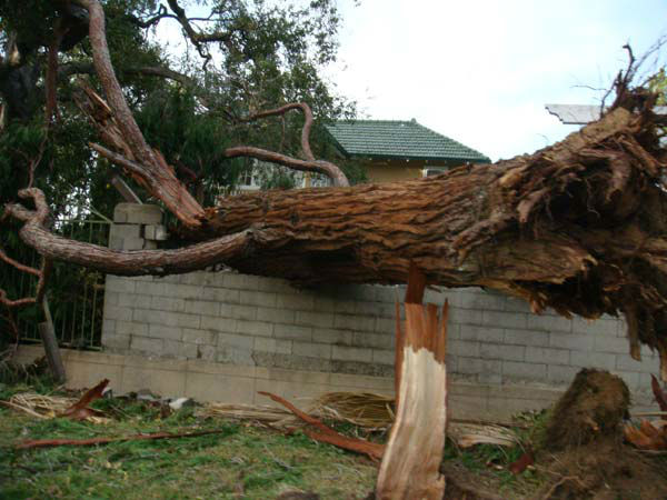 ABC7 viewer Christina Alvarez-Dellosa sent in this photo of a fallen tree in Pasadena, Calif. on Thursday, Dec. 1, 2011. &#160;When you witness breaking news happen, send your photos to video@myabc7.com, or send them to @abc7 on Twitter <span class=meta>(KABC Photo&#47; ABC7 viewer Christina Alvarez-Dellosa)</span>