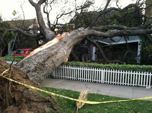 ABC7 viewer Clark Hahne III sent in this photo of a fallen tree in Pasadena, Calif. on Thursday, Dec. 1, 2011. &#160;When you witness breaking news happen, send your photos to video@myabc7.com, or send them to @abc7 on Twitter <span class=meta>(KABC Photo&#47; ABC7 viewer Clark Hahne III)</span>
