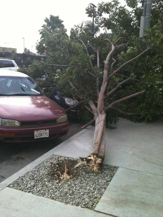 "<div class=""meta ""><span class=""caption-text "">ABC7 viewer Brian Blondell sent in this photo of a fallen tree in Los Angeles, Calif. on Thursday, Dec. 1, 2011.  When you witness breaking news happen, send your photos to video@myabc7.com, or send them to @abc7 on Twitter  (KABC Photo/ ABC7 viewer Brian Blondell)</span></div>"