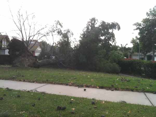 ABC7 viewer Amber sent in this photo of a fallen tree in Rancho Cucamonga, Calif. on Thursday, Dec. 1, 2011. &#160;When you witness breaking news happen, send your photos to video@myabc7.com, or send them to @abc7 on Twitter  <span class=meta>(KABC Photo&#47; ABC7 viewer Amber)</span>