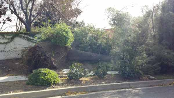 ABC7 viewer Rudy Garcia sent in this photo of a fallen tree in Southern California on Thursday, Dec. 1, 2011. &#160;When you witness breaking news happen, send your photos to video@myabc7.com, or send them to @abc7 on Twitter  <span class=meta>(KABC Photo&#47; ABC7 viewer Rudy Garcia)</span>