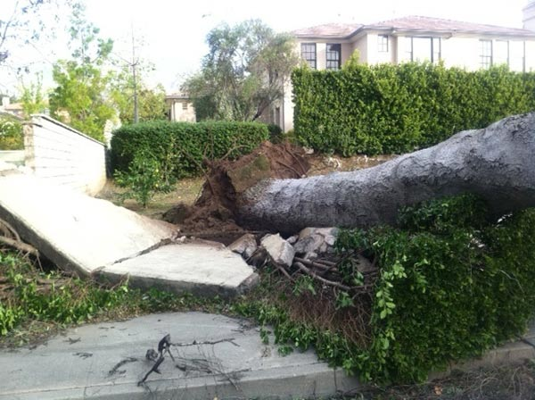 Strong winds knocked down trees in Arcadia, Calif., on Thursday, Dec. 1, 2011. <span class=meta>(KABC Photo)</span>
