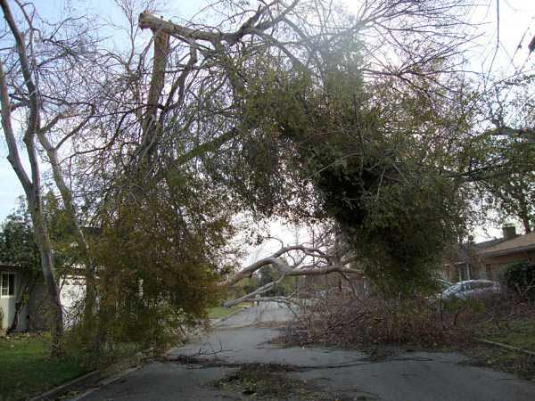 ABC7 viewer Cindy Nguyen took this photo of a tree that toppled in front of a home on El Nido Avenue in Pasadena on Thursday, Dec. 1, 2011.
