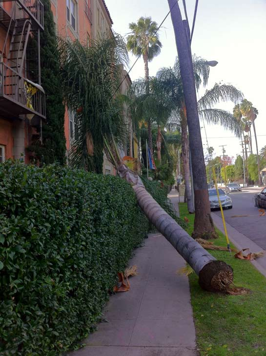 ABC7 viewer Charlie Beigarten took this photo of a fallen tree in Franklin Village on Thursday, Dec. 1, 2011. &#160;When you witness breaking news happen, send your photos to video@myabc7.com, or send them to @abc7 on Twitter  <span class=meta>(KABC Photo&#47; ABC7 viewer Charlie Beigarten)</span>