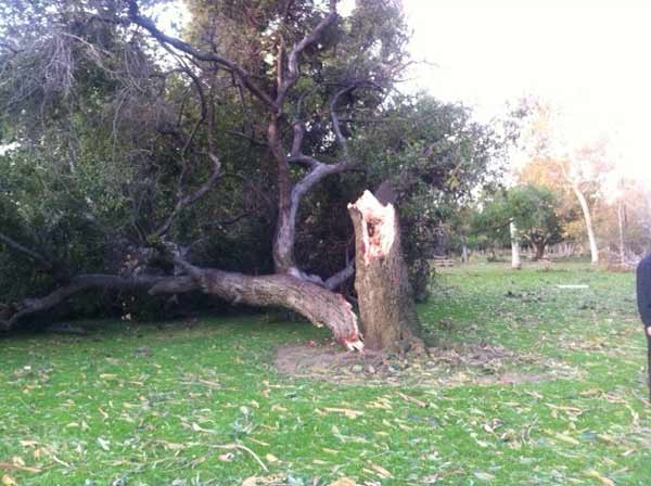 Strong winds knocked down a tree in Arcadia, Calif., on Thursday, Dec. 1, 2011. <span class=meta>(KABC Photo)</span>