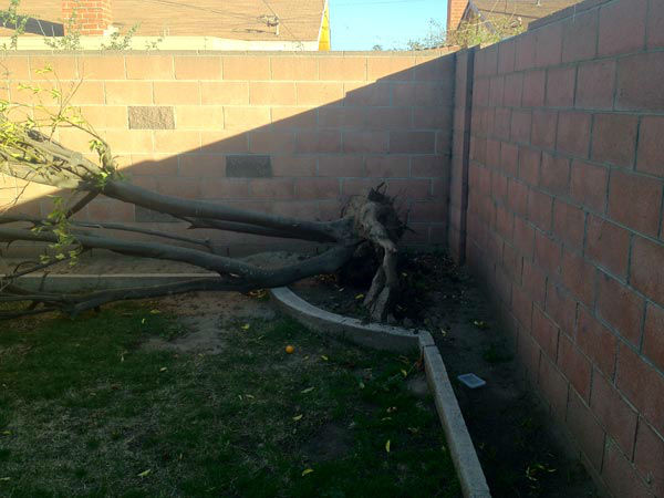 An ABC7 viewer from Oxnard sent in this photo of strong winds knocking down their orange tree.  When You Witness breaking news, or even something extraordinary, send pictures and video to video@myabc7.com, or send them to @abc7 on Twitter or our ABC7 Facebook page. <span class=meta>(KABC Photo&#47;ABC7 Viewer)</span>