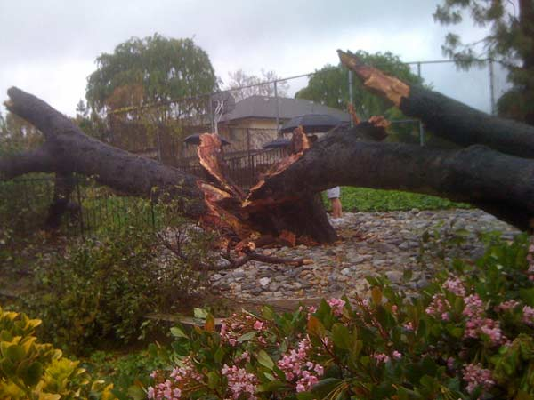 An ABC7 viewer sent in this photo of a tree split in half in Monrovia as a powerful storm passed over Southern California on Sunday March, 25, 2012.