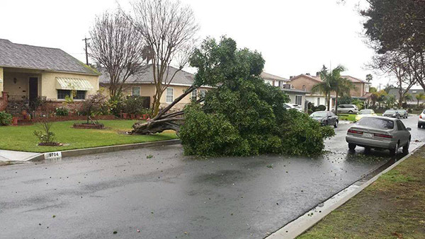 ABC7 viewer Jeanette Moorman sent in this photo of a fallen tree blocking the road in Downey on Friday, Feb. 28, 2014. When You Witness breaking news, or even something extraordinary, send pictures and video to video@abc7.com, or post them to the ABC7 Facebook page or to @abc7 on Twitter  <span class=meta>(Jeanette Moorman)</span>