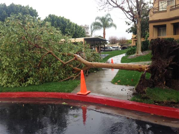 ABC7 viewer Yvonne Rodriguez sent in this photo of a fallen tree in Corona via email on Saturday, March 1, 2014. When You Witness breaking news, or even something extraordinary, send pictures and video to video@abc7.com, or post them to the ABC7 Facebook page or to @abc7 on Twitter  <span class=meta>(Yvonne Rodriguez)</span>