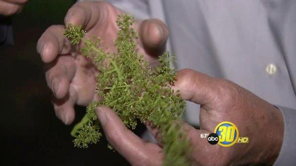 Moth threatens Fresno County grape and fruit crops
