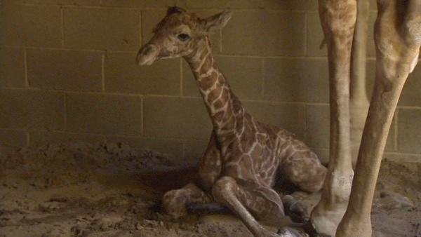 The Chaffee Zoo Welcomes Baby Giraffe