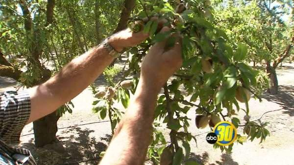 Valley almond harvest underway
