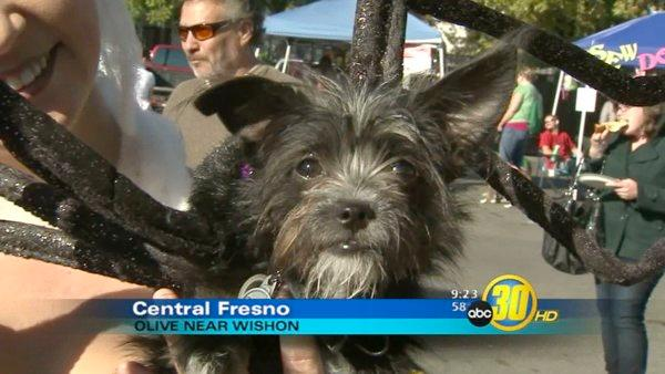 Annual Pooch Parade in Fresno Tower District
