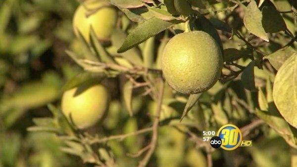 Citrus growers monitor their crops during frosty nights