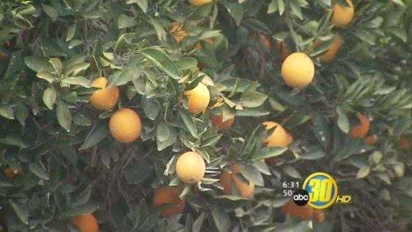 Harvest resumes as valley citrus orchards dry out