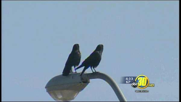 Lack of rain causes bird problems in Los Banos