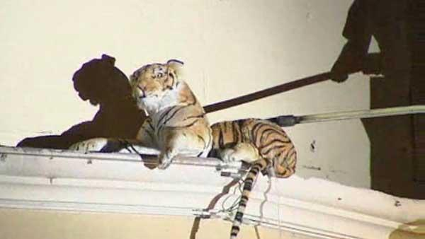 Tiger toy on roof stops traffic in Texas