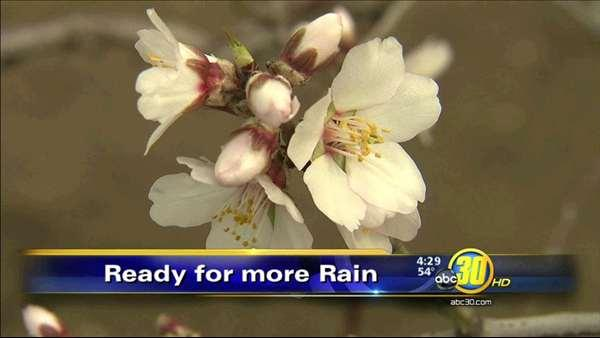 Early almond tree bloom dangerous for the crop