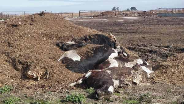 Photo of deceased cows covered in manure.