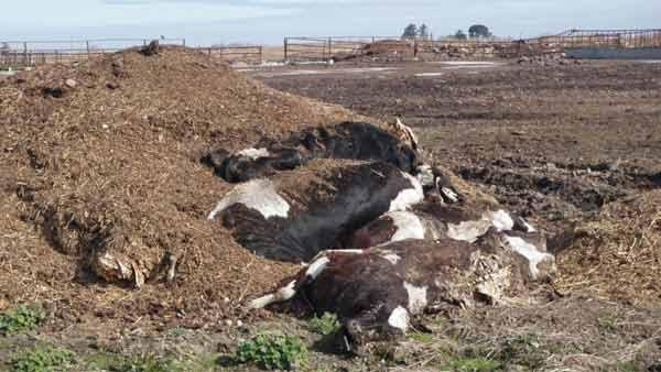 50 dead cows found at Merced County Dairy