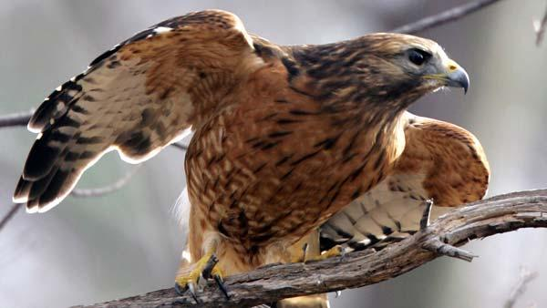 Red Tail, Swainson's hawks delay Hwy 198 expansion