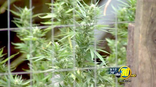 Fresno's outdoor pot growing ban is now permanent