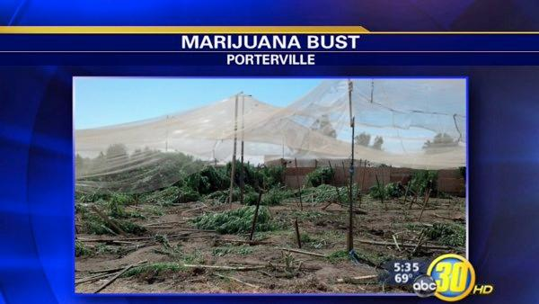 Large pot bust east of Porterville
