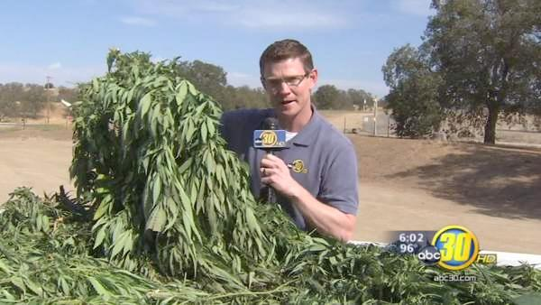 Major marijuana bust in Madera County