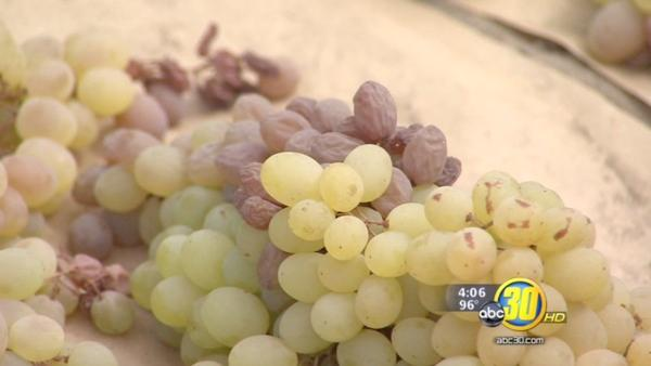 Recent rain causing concern among raisin growers