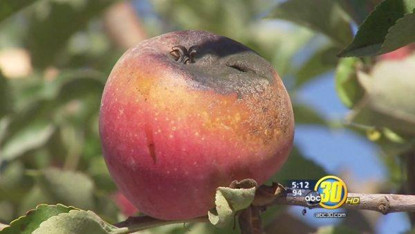 Apple growers aren't happy with the warm temps