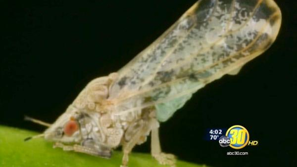 Asian citrus psyllid found in Tulare County trap