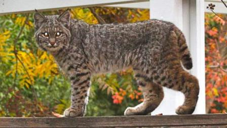 Bobcat spotted in Northeast Fresno