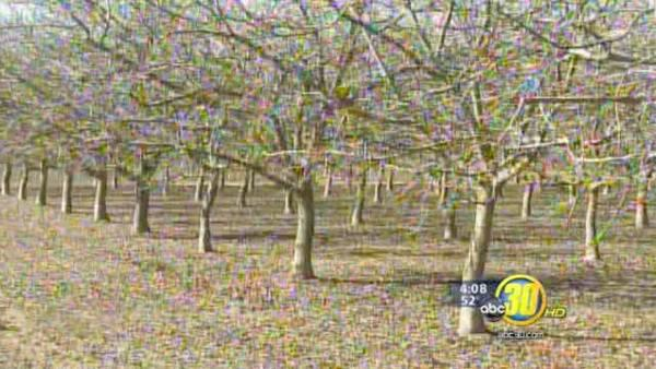 Walnut and Pistachio growers welcome cold weather