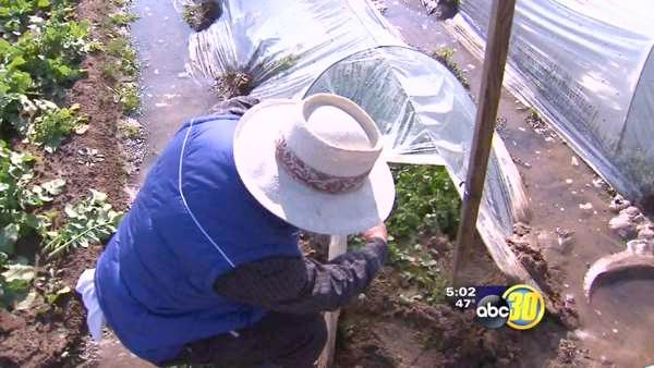 Central Valley Hmong farmers hit by freeze