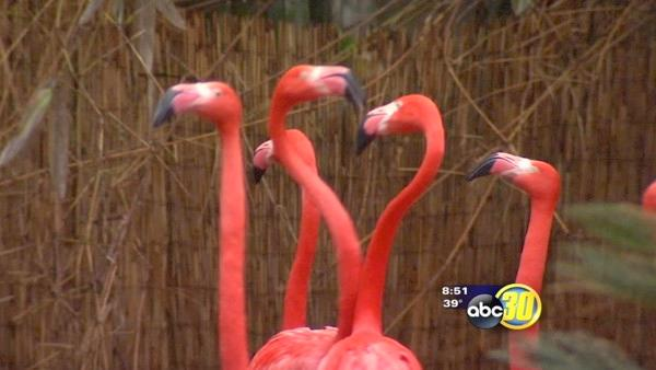 Dancing flamingos are Fresno Chaffee Zoo's hit