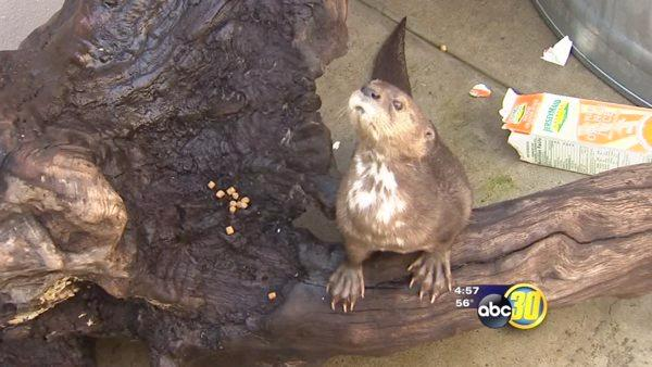 Fresno Chaffee Zoo otter exhibit to open in March