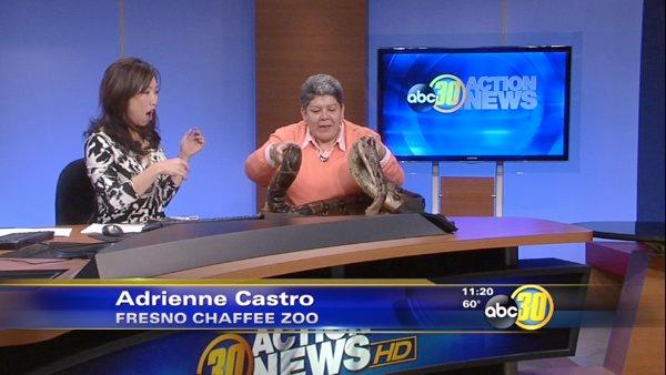 Huge 8-foot-long snake visits from Fresno Chaffee Zoo